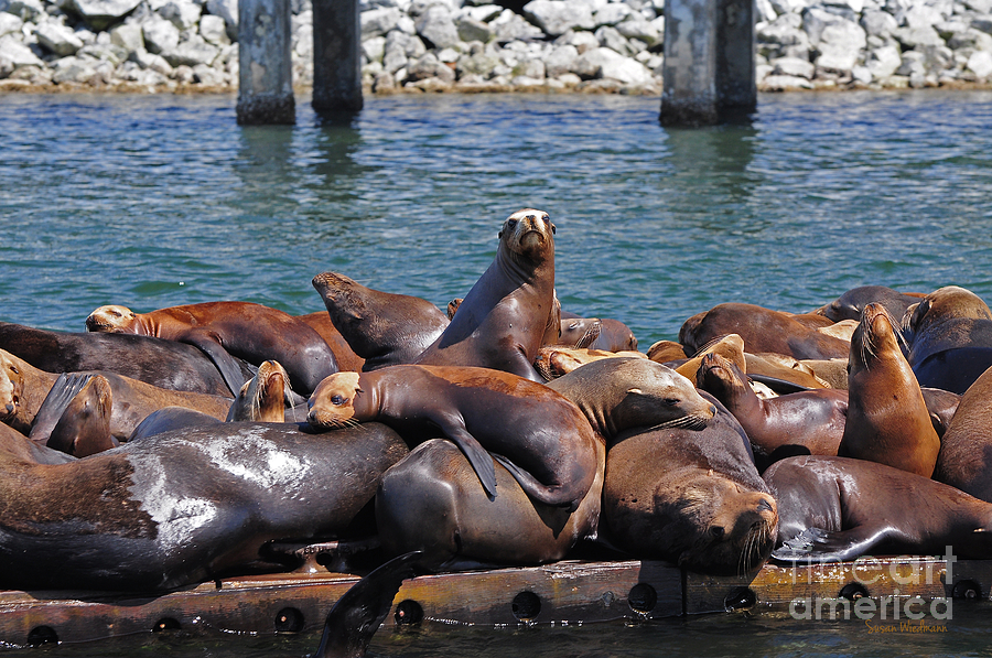 Sentry Sea Lion And Friends Photograph  - Sentry Sea Lion And Friends Fine Art Print