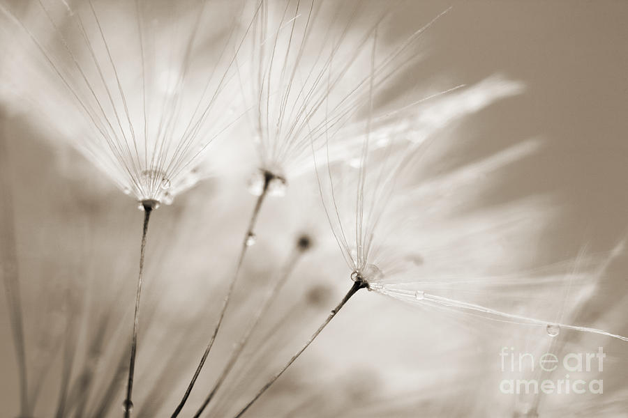 Sepia Dandelion Clock And Water Droplets Photograph  - Sepia Dandelion Clock And Water Droplets Fine Art Print