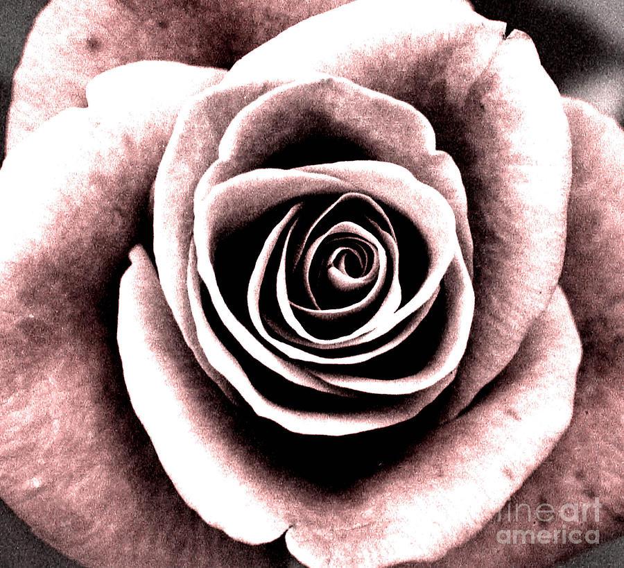 Sepia Rose Photograph