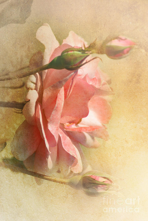 September Rose Photograph  - September Rose Fine Art Print