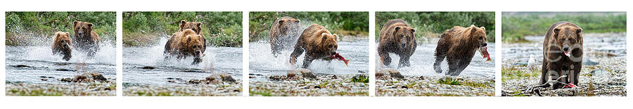 Sequence Of Large Brown Stealing Salmon From Smaller Brown Bear Photograph