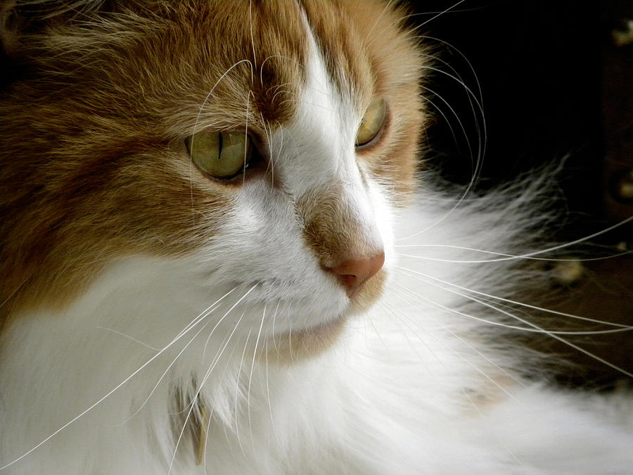 Maine Coon Cat Photograph - Serious Gato 1 by Julie Palencia