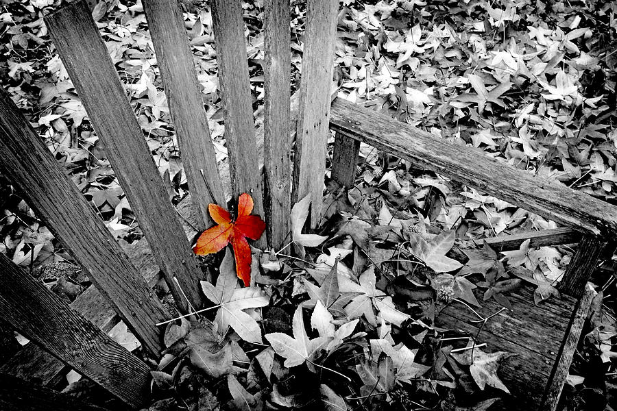 Red Leaf Photograph - Set Apart by Bonnie Bruno