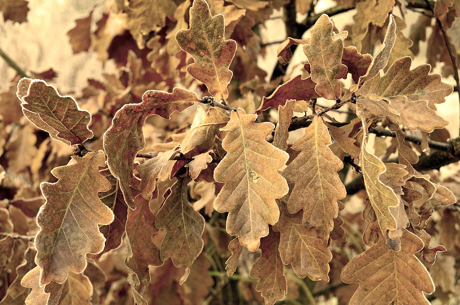 Several Oak Leaves  Photograph  - Several Oak Leaves  Fine Art Print