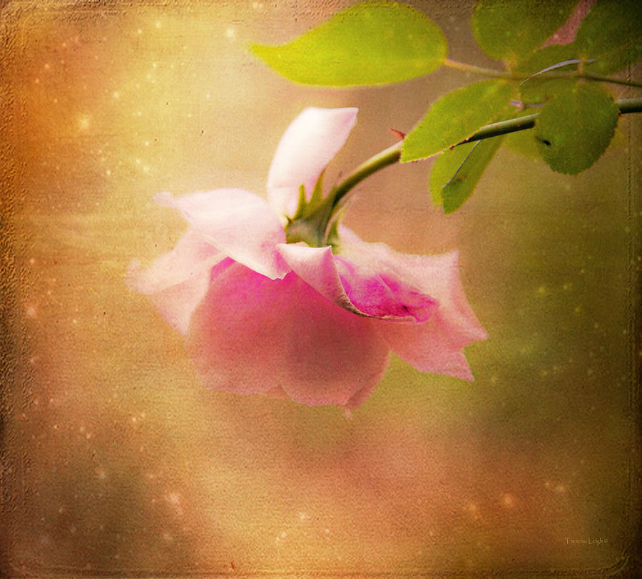 Shabby Chic Rose Print Photograph