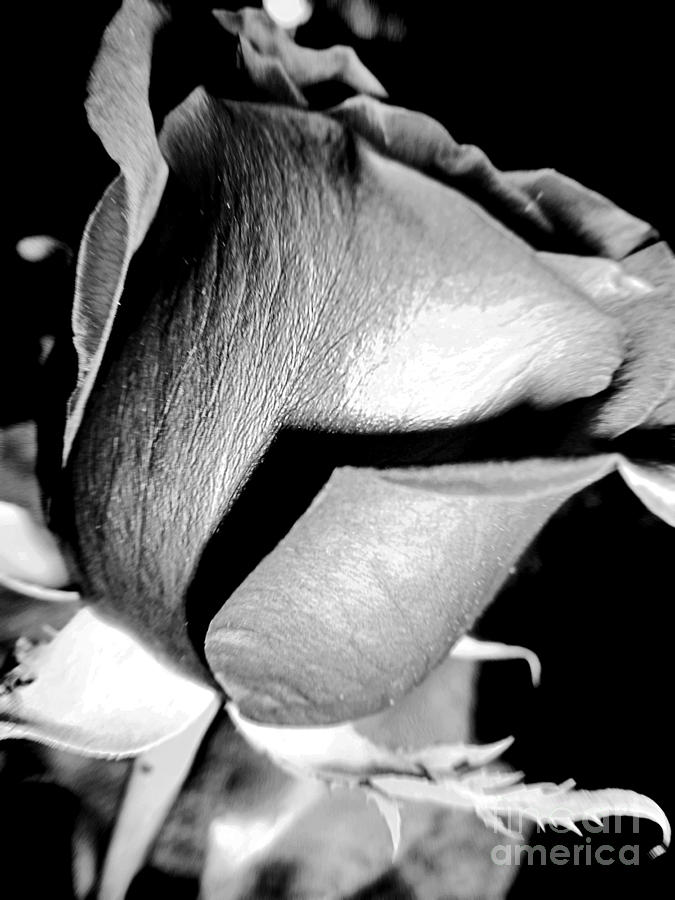 Shades Of Rose Photograph