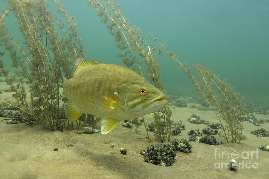 shallow smallmouth bass photograph by engbretson