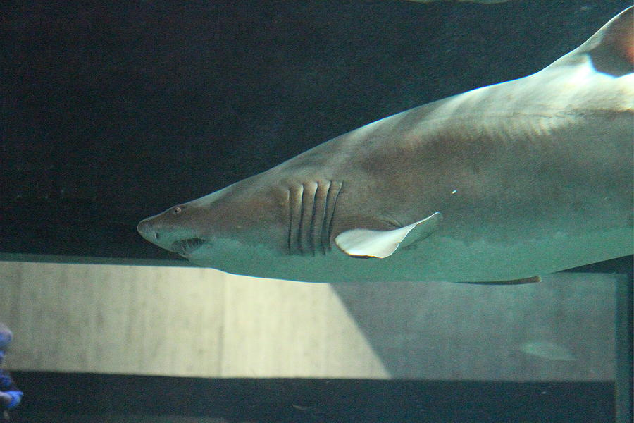Shark National Aquarium In Baltimore Md 121221 Photograph By Dc Photographer