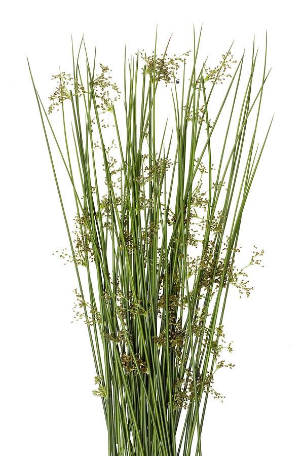 Sharp Grass Photograph
