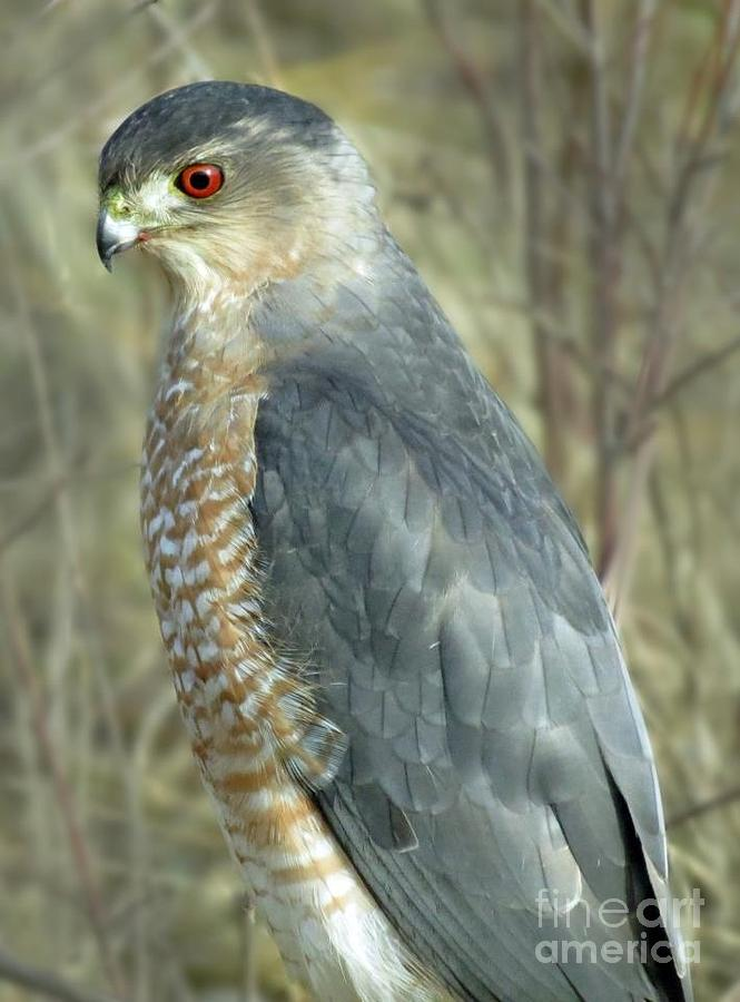 Sharp-shinned Hawk Photograph