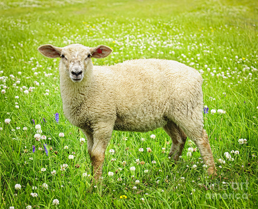 Sheep In Summer Meadow Photograph