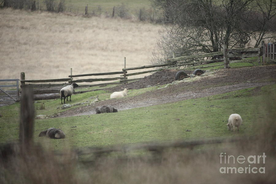 Sheep Life Photograph  - Sheep Life Fine Art Print