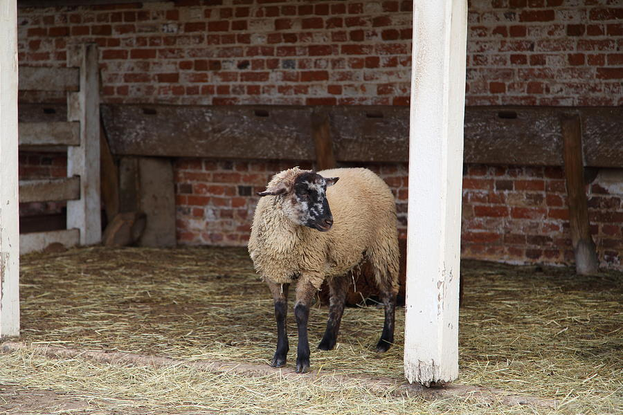 Sheep - Mt Vernon - 01132 Photograph  - Sheep - Mt Vernon - 01132 Fine Art Print