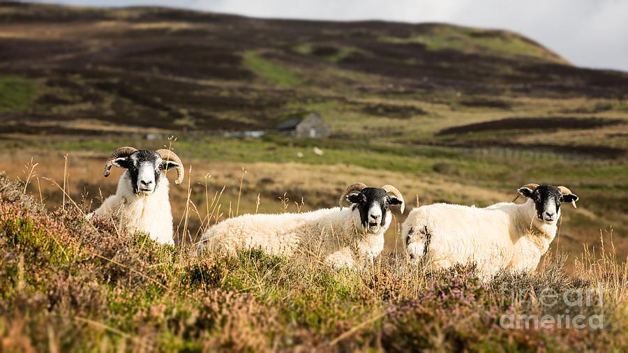 Sheep Trio Photograph