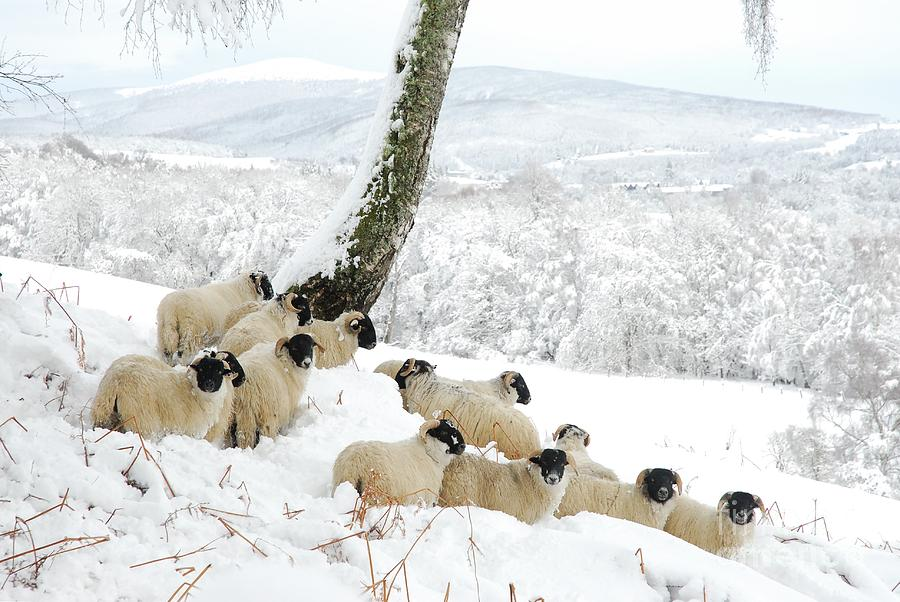 Christmas Photograph - Sheltering Flock by John Kelly