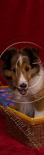 Sheltie Puppy In Box # 464 Photograph