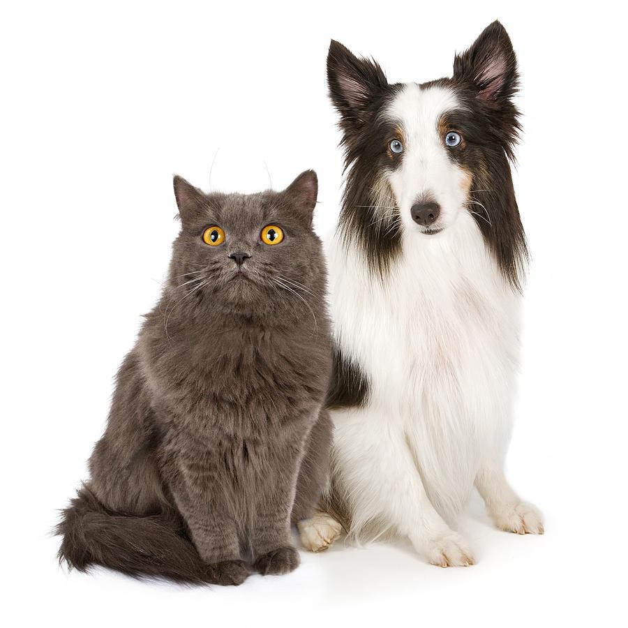 Shetland Sheepdog And Gray Cat Photograph