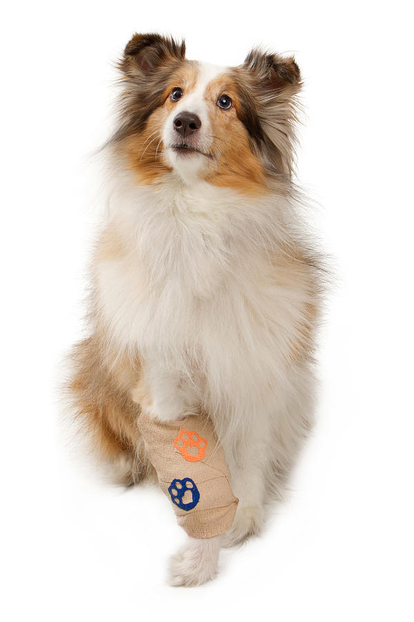 Animal Photograph - Shetland Sheepdog With Injured Leg by Susan Schmitz