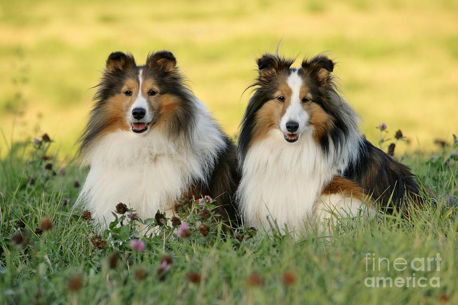 Shetland Sheepdogs Photograph