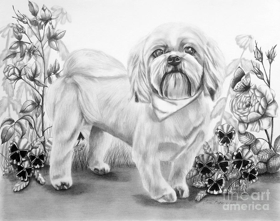 Shih Tzu In Black And White Drawing by Lena Auxier