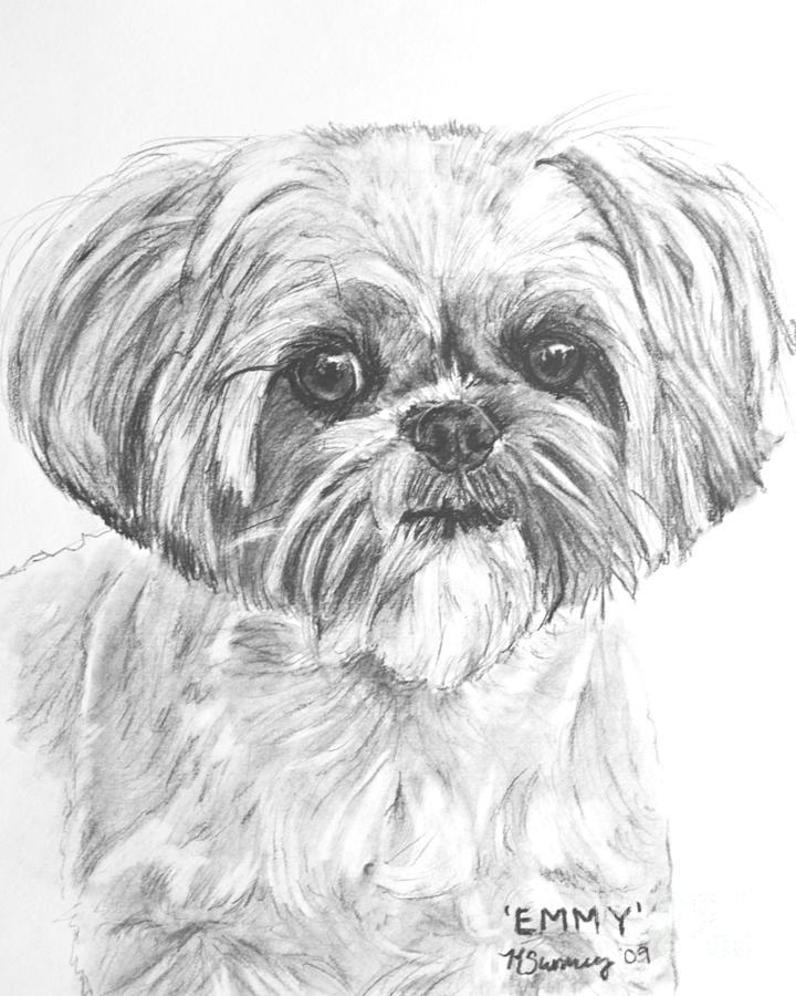 Shih Tzu Portrait In Charcoal Drawing