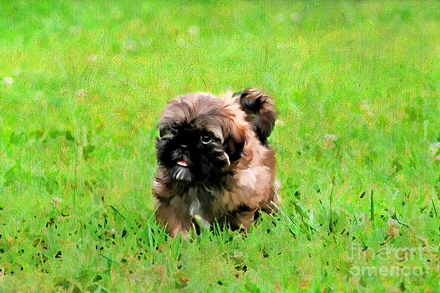Shih Tzu Puppy Photograph