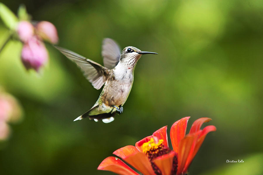 Hummingbird Photograph - Shimmering Breeze Hummingbird by Christina Rollo