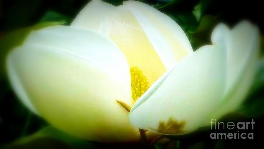 Shimmering White Magnolia Photograph