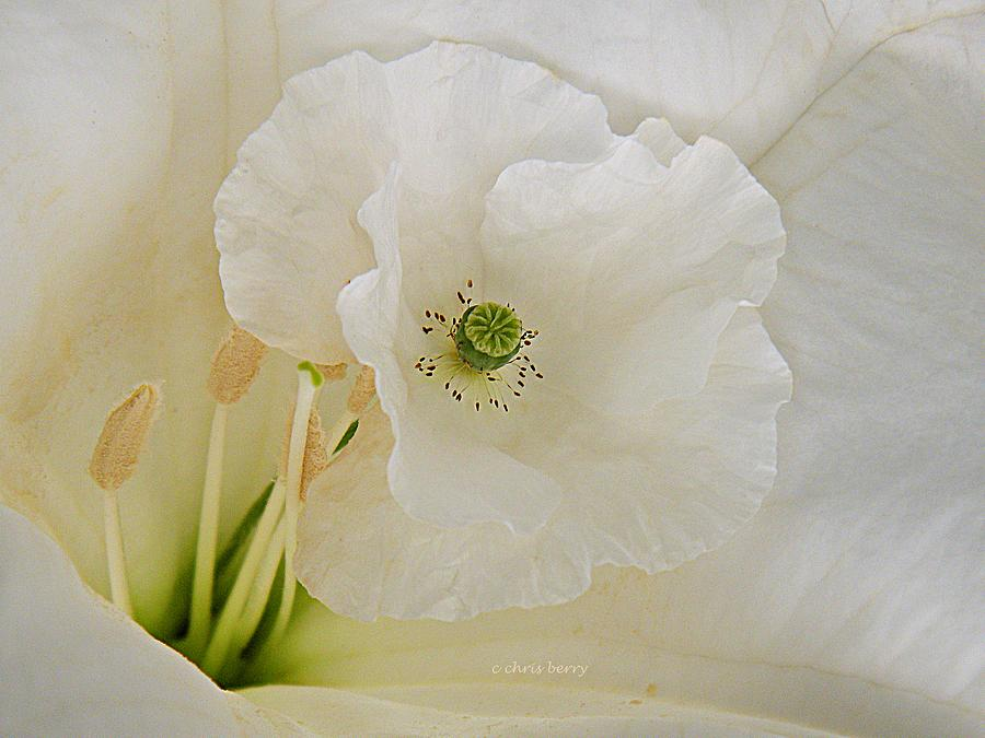 Nature Photograph - Shirley And The Moonflower by Chris Berry