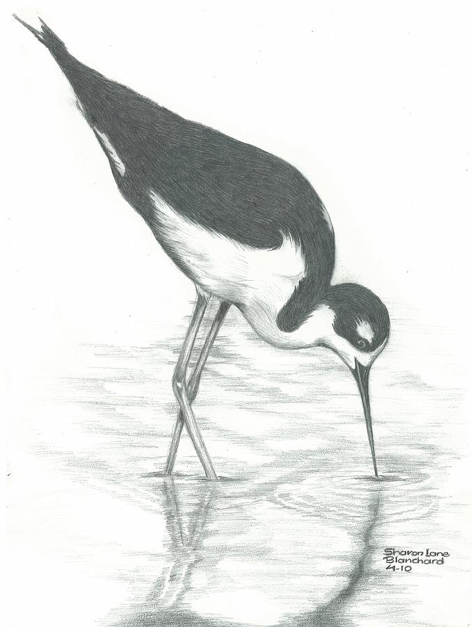 Shore Bird Drawing