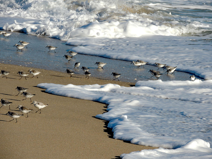 Shore Birds South Florida Photograph  - Shore Birds South Florida Fine Art Print