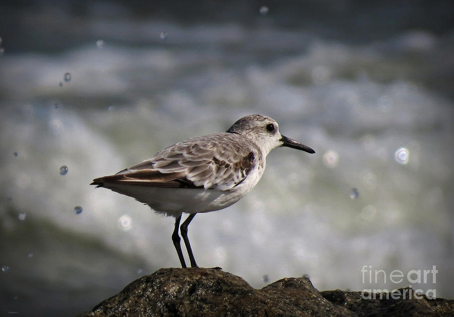 Shore Sanderling Photograph  - Shore Sanderling Fine Art Print