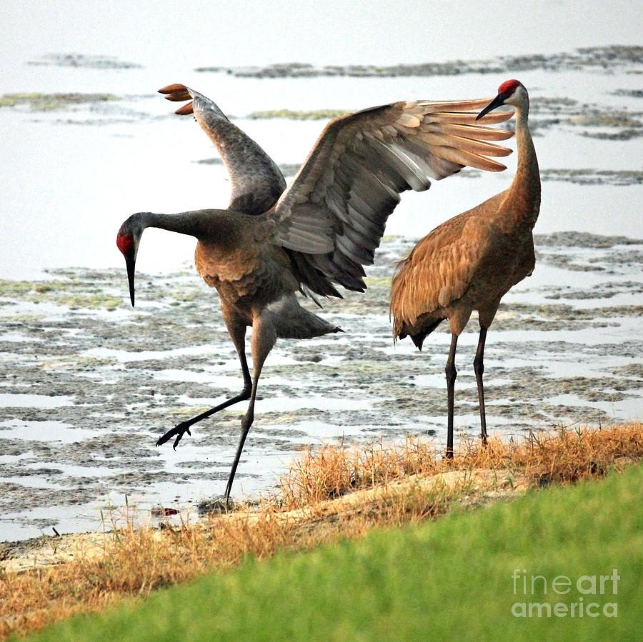 Sandhill Cranes Photograph - Showoff by Carol Groenen
