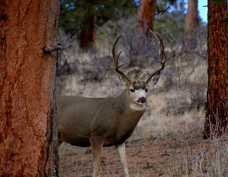 Shy Mule Deer Photograph