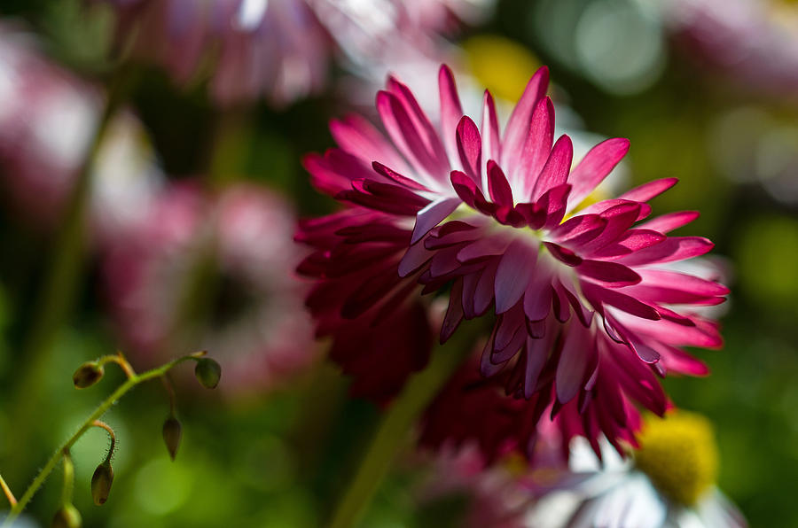 Mum Photograph - Shy Mum - Chrysanthemum by Jordan Blackstone