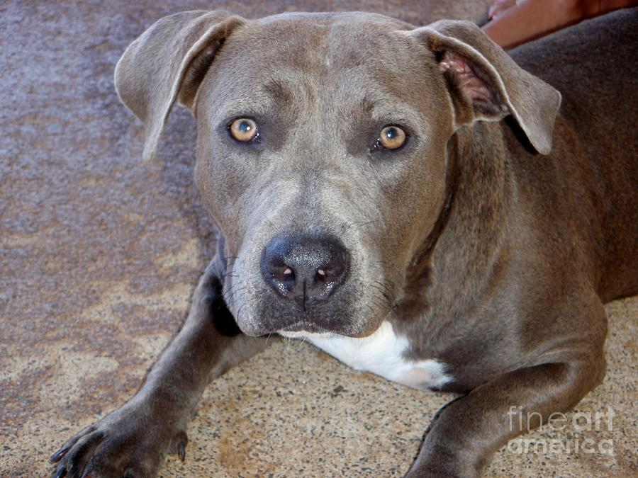 Shy Pit Bull Puppy Photograph