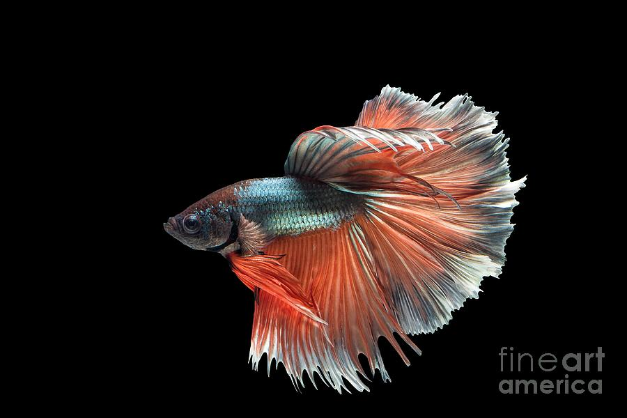 Siamese fighting fish art foto bugil bokep 2017 for Siamese fighting fish crossword