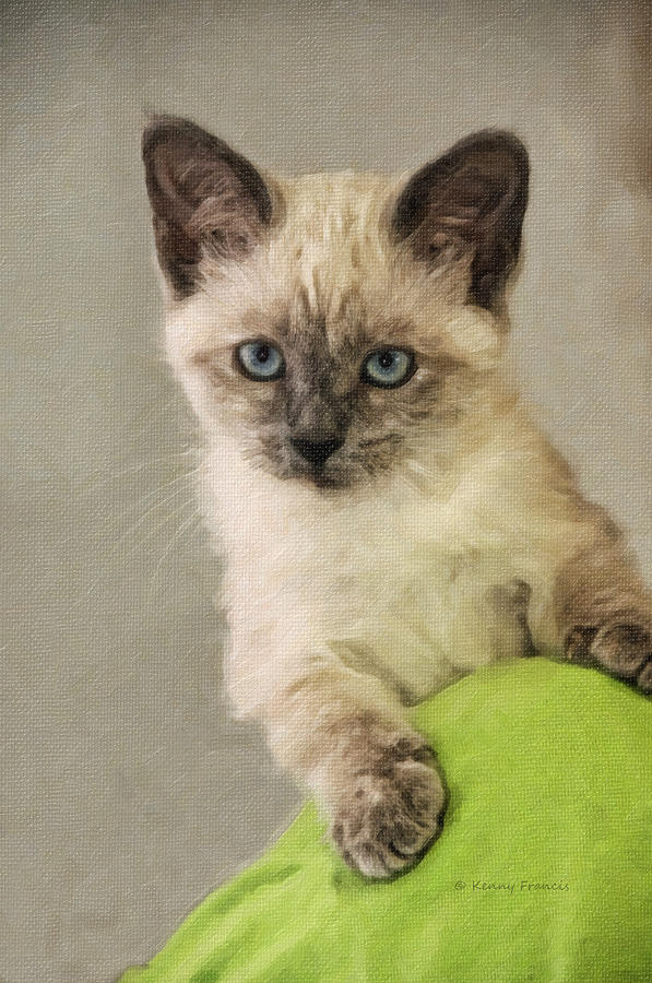 Kenny Francis Photograph - Siamese Kitten by Kenny Francis