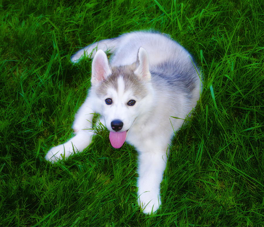 Siberian Huskie Photograph