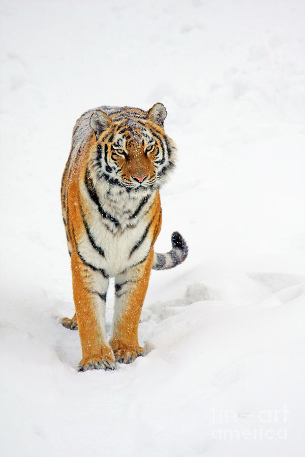 Siberian Tiger Animal Photograph  - Siberian Tiger Animal Fine Art Print