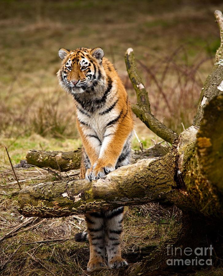 Siberian Tiger Photograph