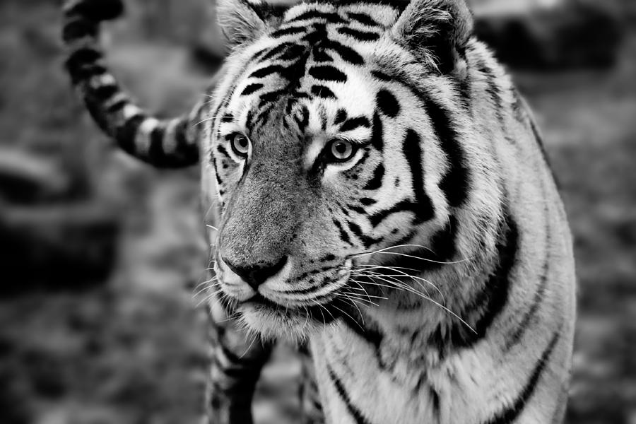 Siberian Tiger Monochrome Photograph