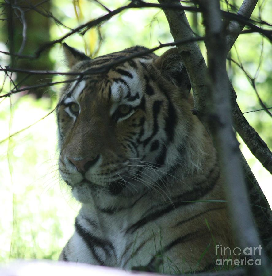 Siberian Tiger Profile Photograph - Siberian Tiger Profile by John Telfer