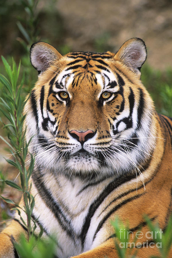 Siberian Tiger Staring Endangered Species Wildlife Rescue Photograph  - Siberian Tiger Staring Endangered Species Wildlife Rescue Fine Art Print