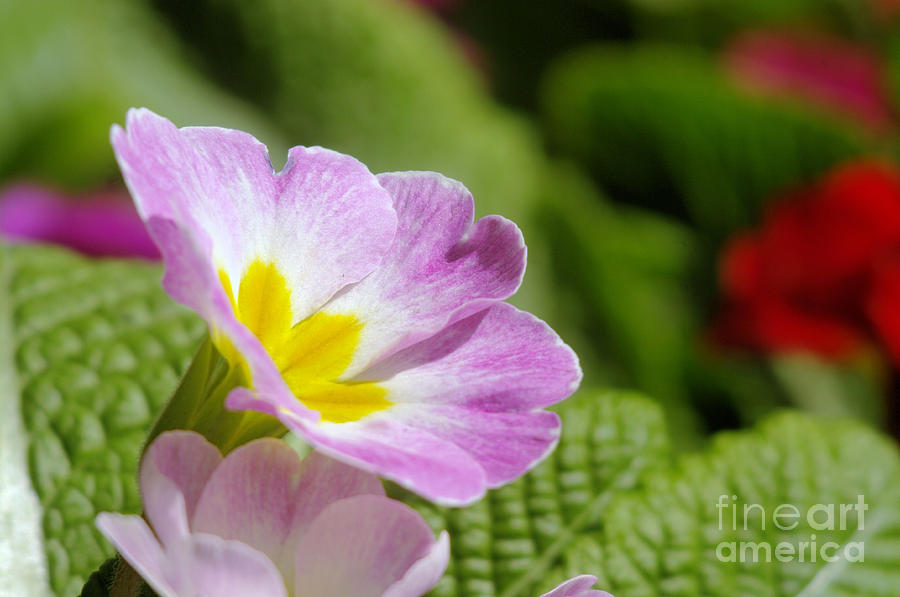 Floral Photograph - Side View Of A Spring Pansy by Jeff Swan