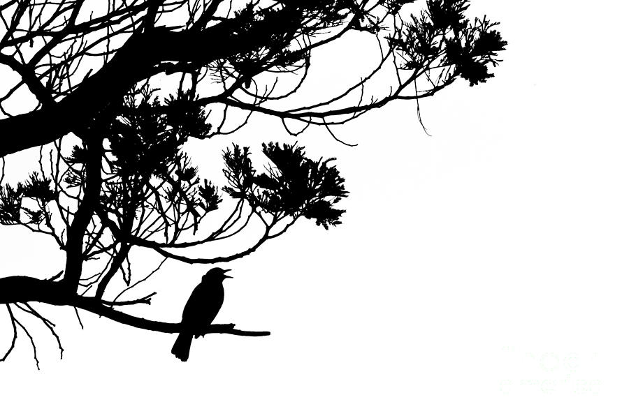 Silhouette Of Singing Common Blackbird In A Tree Photograph
