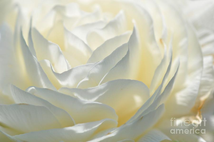 Silk Cream Floral Photograph