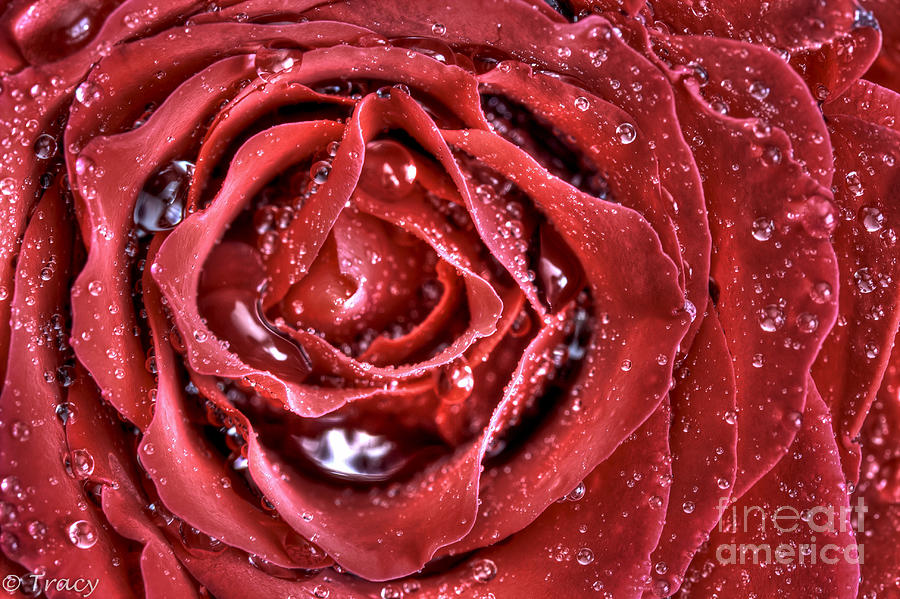 Silky Rose Photograph