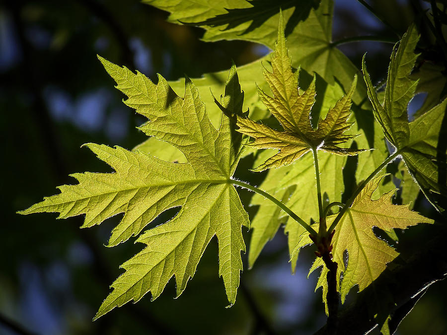 Silver Maple Photograph