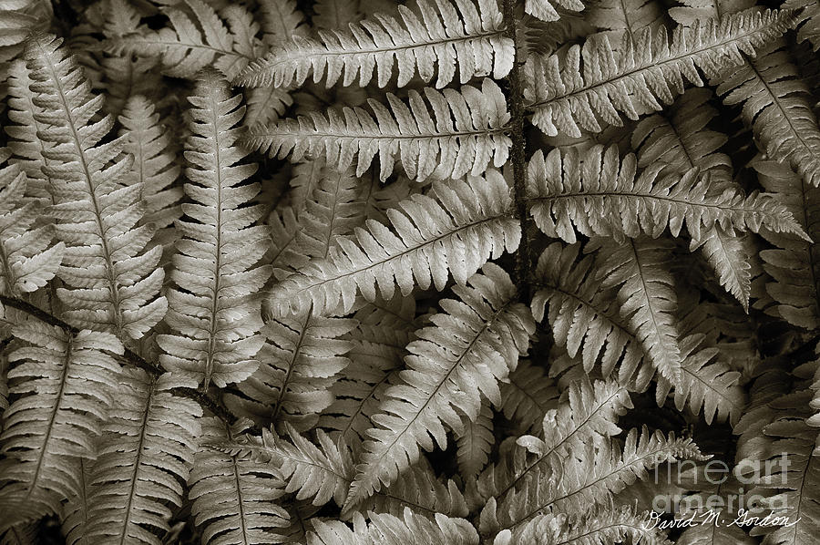 Silvery Ferns Photograph